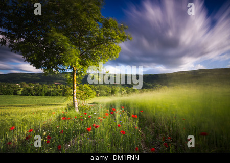 poppies in a field of barley near Campi, Valnerina, Umbria, Italy - Stock Photo