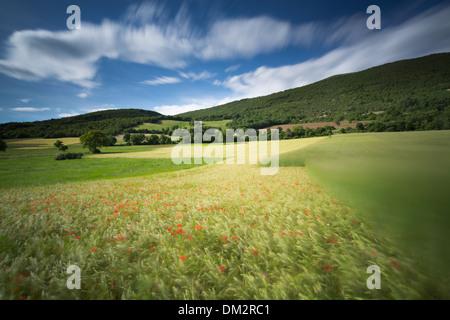 poppies, in barley field near Campi, Umbria, Italy - Stock Photo