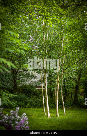 Silver birch trees in an english wood photographed from for Silver birch trees for small gardens