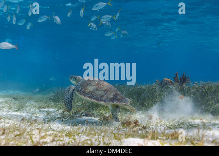 School of fish and green sea turtle Chelonia mydas, swimming on the  in Hol Chan Marine Park - Stock Photo