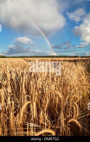 rainbow on blue sky over wheat field, Holland - Stock Photo