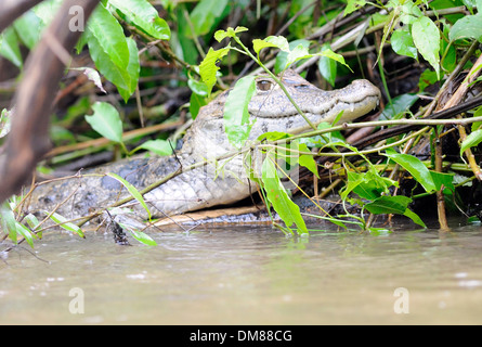 A Spectaled Caiman (Caiman crocodilus) lurks on a river bank. Tortuguero, Tortuguero National Park, Limon Province, - Stock Photo