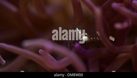 Glass shrimp hiding in an anemone - Stock Photo