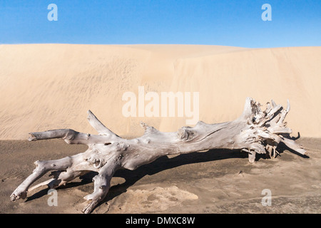 Old tree stump in front of a sand dune - Stock Photo