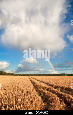 rainbow on blue sky over barley field in summer, Holland - Stock Photo