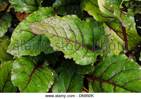 Close up of red sorrel leaves with water droplets. - Stock Photo