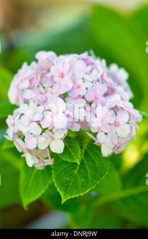Pink hydrangea in the park. - Stock Photo