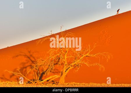 Person climbs sand dune behind oasis tree in Namib-Naukluft National Park, Namibia - Stockfoto