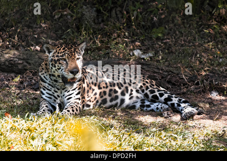 a jaguar resting on the shadow - Stock Photo