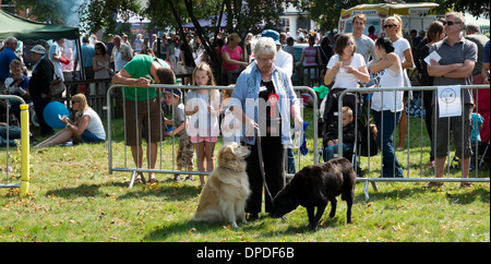 Woman showing her two dogs at dog show Beaconsfield annual country fayre (fair) Buckinghamshire UK - Stock Photo