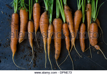 Bunch of fresh carrots just picked from garden with soil on dark background - Stock Photo