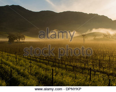 Winter sunrise over a vineyard - Stock Photo