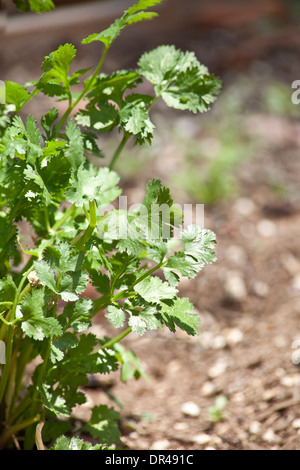 Parsley growing in an urban garden - Stock Photo