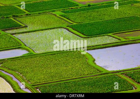 Taro fields in Hanalei Valley, Kauai, Hawaii, USA - Stock Photo