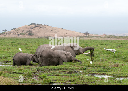 Elephant family feeding on green reeds in swamp at foot of Observation Hill in Amboseli National Park Kenya East - Stock Photo