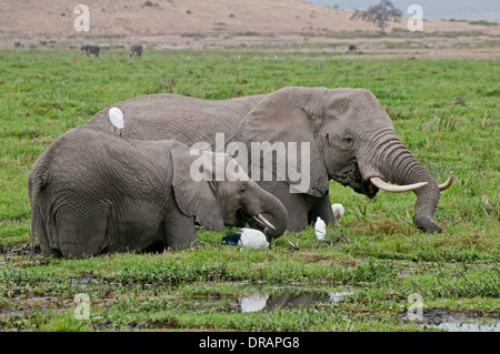 Elephants with attendant Cattle Egrets feeding on green reeds in swamp in Amboseli National Park Kenya East Africa - Stockfoto