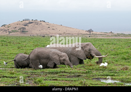 Elephant family feeding on green reeds in swamp at foot of Observation Hill in Amboseli National Park Kenya East - Stockfoto