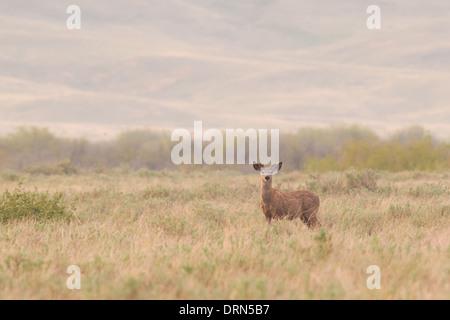 White-tailed deer in open prairies at dawn, Grasslands National Park Saskatchewan Canada - Stock Photo