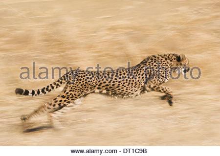 Namibia Cheetah Acinonyx jubatus running Conservation Fund - Stockfoto