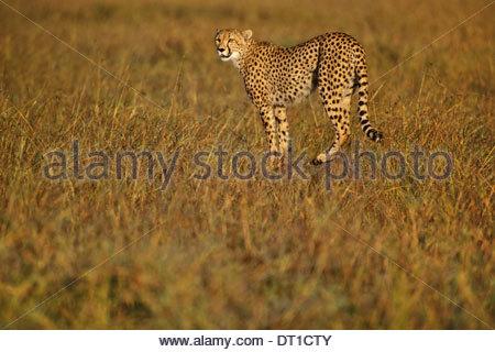 Kenya Cheetah hunting Acinonyx jubatus Kenya - Stockfoto