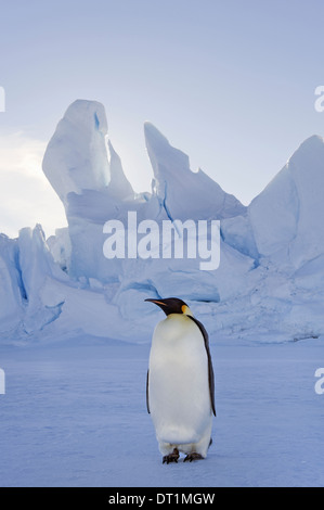 An adult Emperor penguin standing on the ice in shadow with head turned sideways on Snow Hill island in the Weddell - Stock Photo
