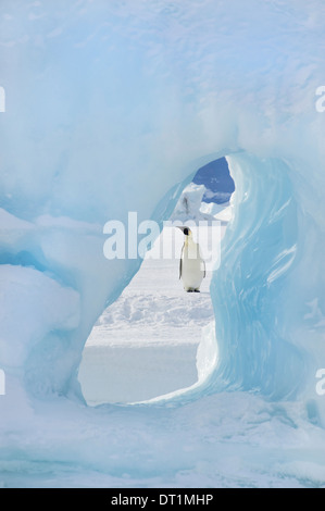 An adult Emperor penguin standing on the ice on Snow Hill island Seen through an ice arch - Stock Photo