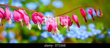 Bleeding Heart flower (Dicentra spectabilis) in the spring garden. - Stock Photo