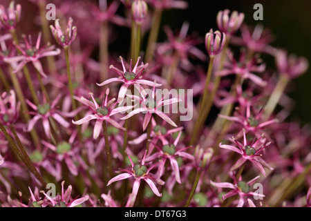 Allium gladiator close up detail of mass of pink star shaped small star shaped flowers allium gladiator close up detail of purple spherical flower head of an ornamental mightylinksfo Choice Image