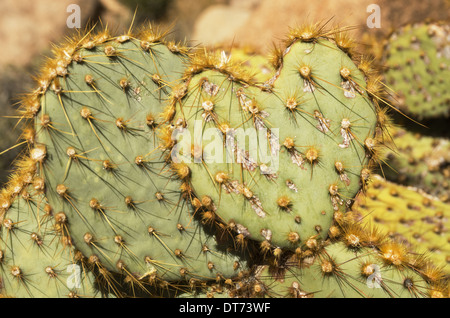 prickly pear cactus pad in the shape of a heart - Stock Photo