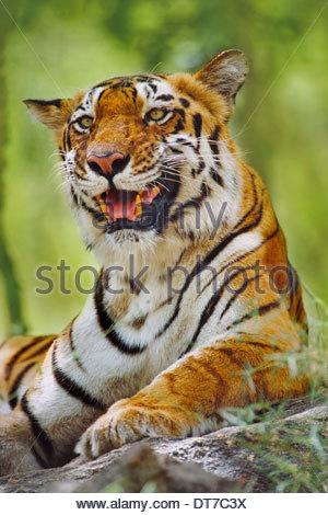 Bengal tiger resting Panthera tigris tigris Western Ghats India Western Ghats India - Stock Photo