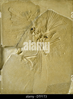 Archaeopteryx lithographica [London specimen] - Stock Photo