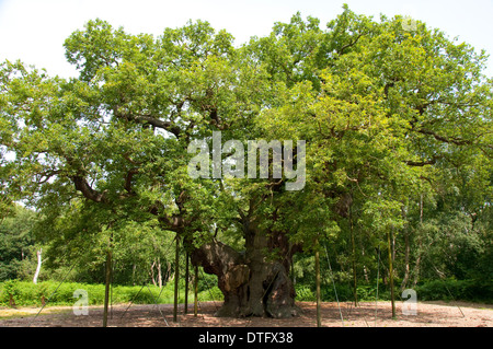 The Major Oak, at Sherwood Forest Visitors Centre in Edwinstowe, Nottinghamshire England UK - Stock Photo