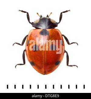 Coccinella septempunctata, Seven Spot Ladybird - Stockfoto