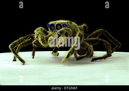 Salticus senecus, zebra jumping spider - Stock Photo