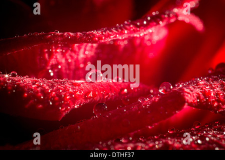 Closeup red rose petals in the water droplets. - Stock Photo