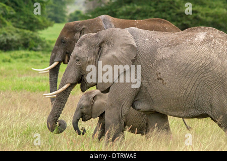 An African elephant family  in Amboseli National Park, Kenya, Africa - Stock Photo