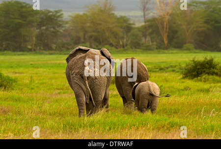An African elephant family walking in Amboseli National Park, Kenya, Africa - Stockfoto