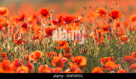 Wild Red poppies on a beautiful summers day, Dorset, England. Summer (July) 2013. - Stock Photo