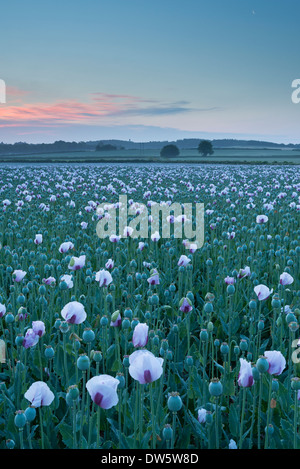 Opium Poppies growing in a Dorset field, England. Summer (July) 2013. - Stock Photo