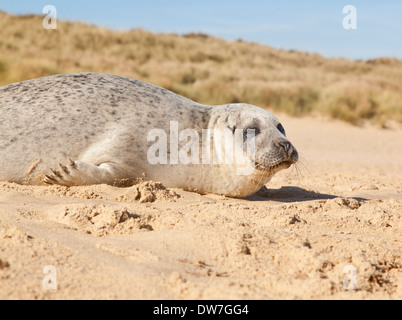 Young seal on the beach near Horsey, in Norfolk, England - Stock Photo
