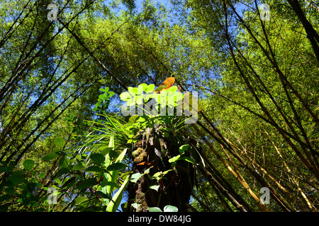 Leaves lit by sunlight surrounded by a bamboo forest, Akaka Falls State Park, Big Island, Hawaii, USA - Stock Photo