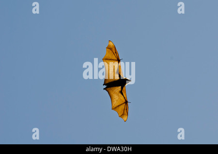 The grey-headed flying fox (Pteropus poliocephalus) is a megabat native to Australia - Stock Photo