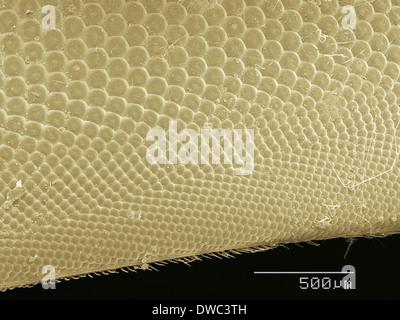 Coloured SEM of horsefly's eye - Stock Photo