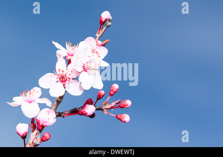 Springtime plum blossoms pink buds and flowers against clear blue sky - Stock Photo