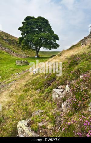 Hadrians Wall, Sycamore Gap, Northumbria - Stock Photo