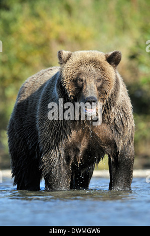 Grizzly bear (Ursus arctos horribilis) fishing in water. - Stock Photo