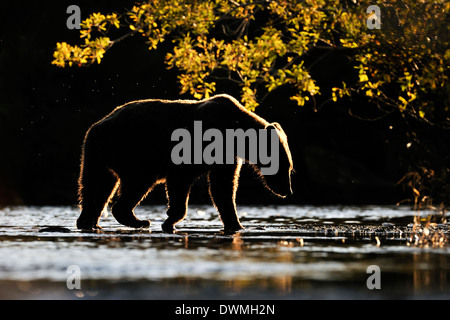 Grizzly bear (Ursus arctos horribilis) fishing in water with back light at sunset. - Stock Photo