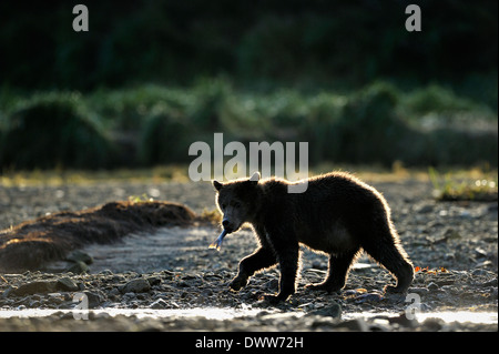 Juvenile Grizzly bear (Ursus arctos horribilis) walking at beach with fish and back light. - Stock Photo
