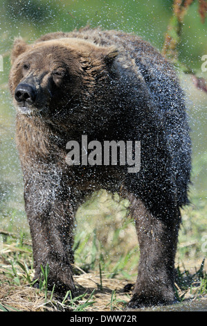 Grizzly bear (Ursus arctos horribilis) shaking water out of his fur. - Stock Photo