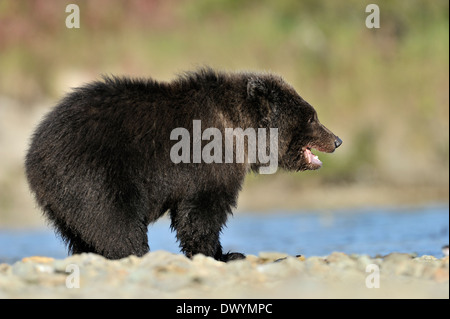 Grizzly bear cub (Ursus arctos horribilis) standing at water edge. - Stock Photo